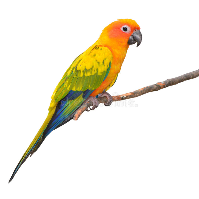 Πουλί παπαγάλων Conure ήλιων στοκ φωτογραφία με δικαίωμα ελεύθερης χρήσης