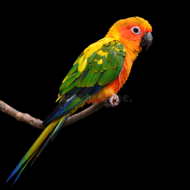 Πουλί παπαγάλων Conure ήλιων στοκ φωτογραφίες με δικαίωμα ελεύθερης χρήσης