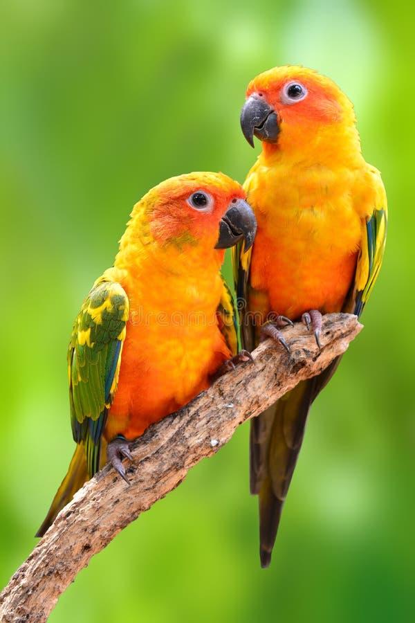 Πουλί παπαγάλων Conure ήλιων στοκ φωτογραφία