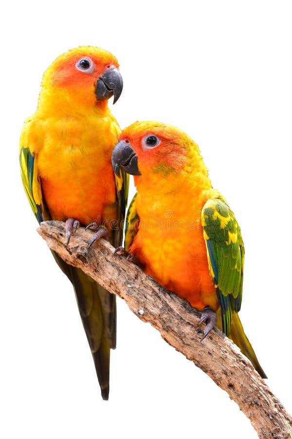 Πουλί παπαγάλων Conure ήλιων στοκ εικόνες με δικαίωμα ελεύθερης χρήσης