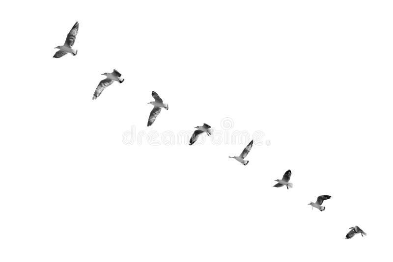 Πουλί που απογειώνεται για να καθαρίσει τον ουρανό & x28 b&w& x29  στοκ φωτογραφία με δικαίωμα ελεύθερης χρήσης
