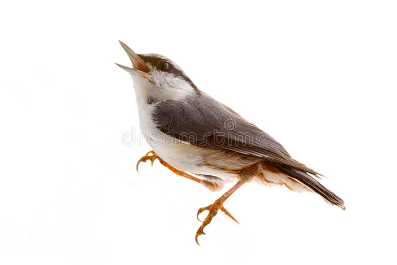 Πουλί που απομονώνεται σε ένα άσπρο υπόβαθρο. καρυοθραύστης στοκ εικόνες