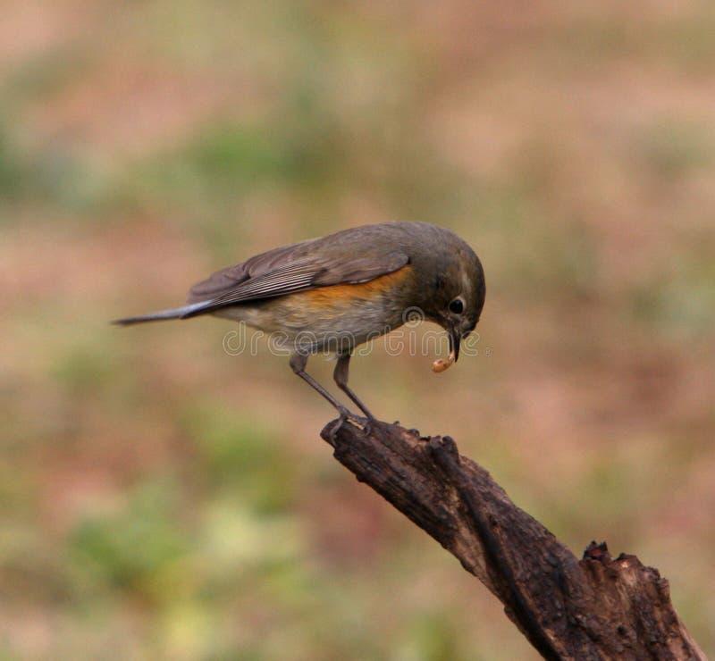 Πουλί που σκαρφαλώνει σε έναν κλάδο που τρώει ένα μικρό ζωύφιο στοκ φωτογραφίες