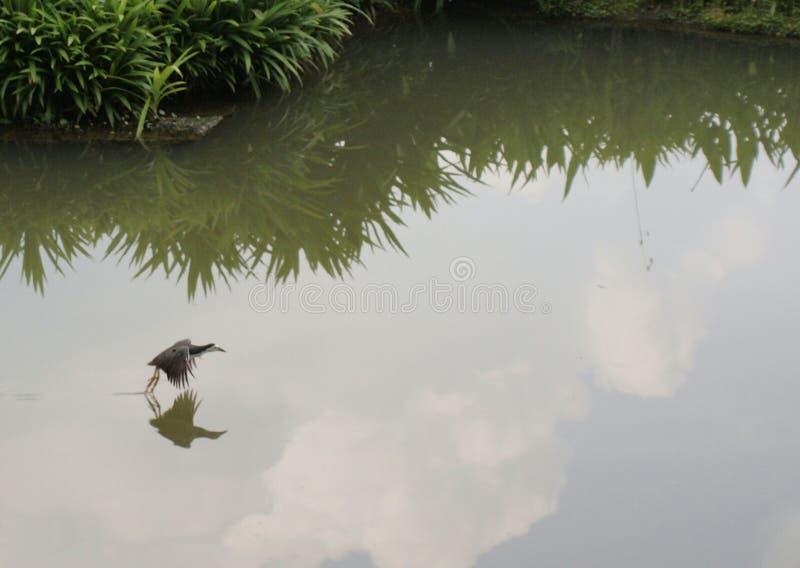 Πουλί που στέκεται στην επιφάνεια νερού στοκ εικόνα με δικαίωμα ελεύθερης χρήσης