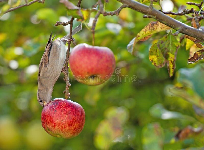 Πουλί που τρώει από ένα μήλο που κρεμά σε ένα δέντρο στοκ φωτογραφίες