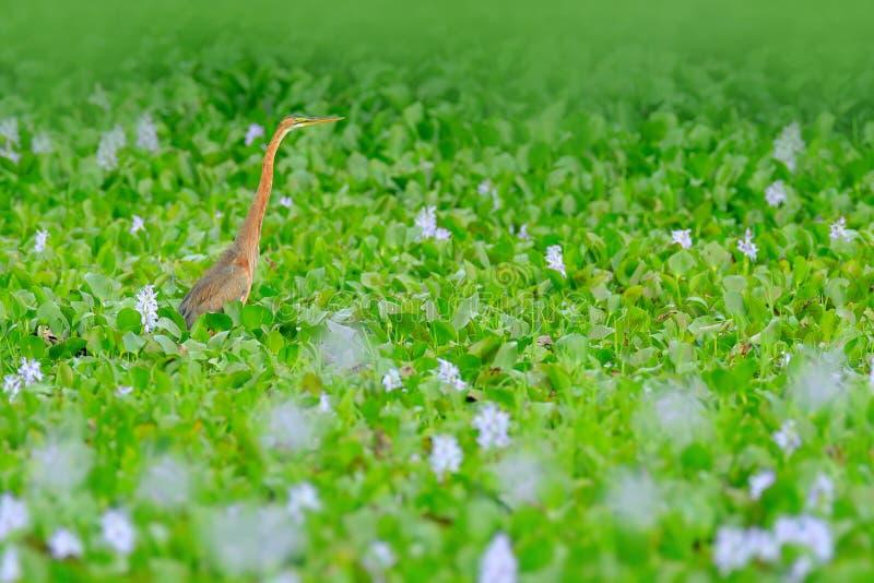 Πουλί στο ρόδινο λουλούδι υάκινθων Ερωδιός στην πράσινη βλάστηση, εθνικό πάρκο Bundala, Σρι Λάνκα, Ασία Όμορφη σκηνή άγριας φύσης στοκ εικόνα με δικαίωμα ελεύθερης χρήσης