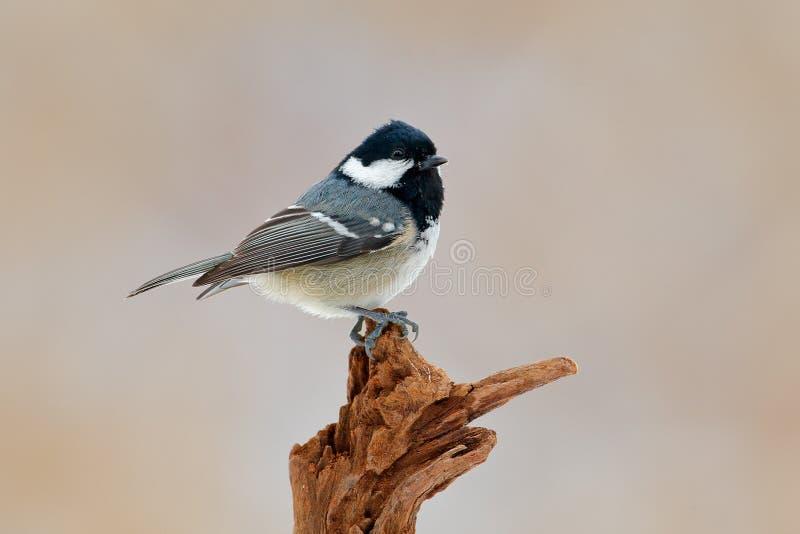 Πουλί τραγουδιού με το ρόδινο υπόβαθρο Άνθρακας Tit, συνεδρίαση Songbird στον όμορφο κλάδο λειχήνων, ζώο στο βιότοπο φύσης, Γερμα στοκ φωτογραφίες