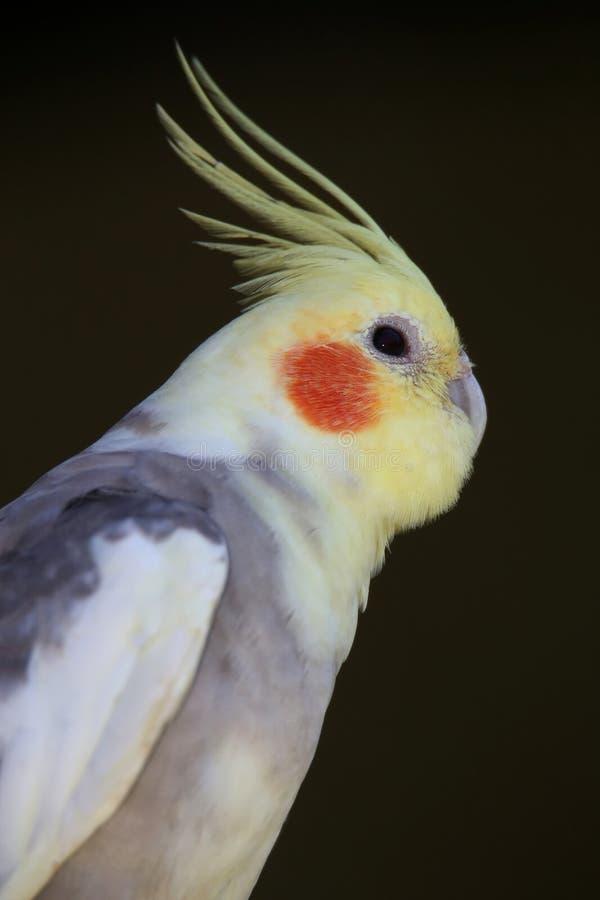 Πουλί Coackatiel στοκ φωτογραφία