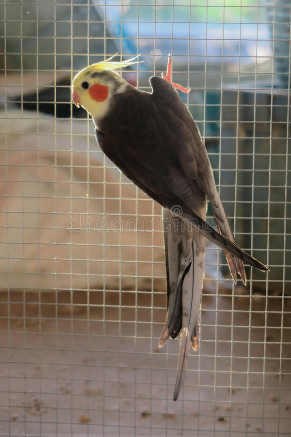 Πουλί Cockatiel στοκ φωτογραφία με δικαίωμα ελεύθερης χρήσης