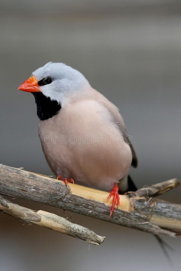 Πουλί Grassfinch Heck στοκ εικόνες