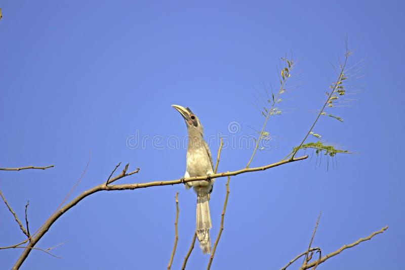 Πουλί Hornbill στοκ εικόνες με δικαίωμα ελεύθερης χρήσης