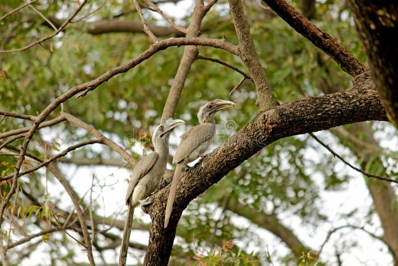 Πουλί Hornbill στοκ εικόνα με δικαίωμα ελεύθερης χρήσης