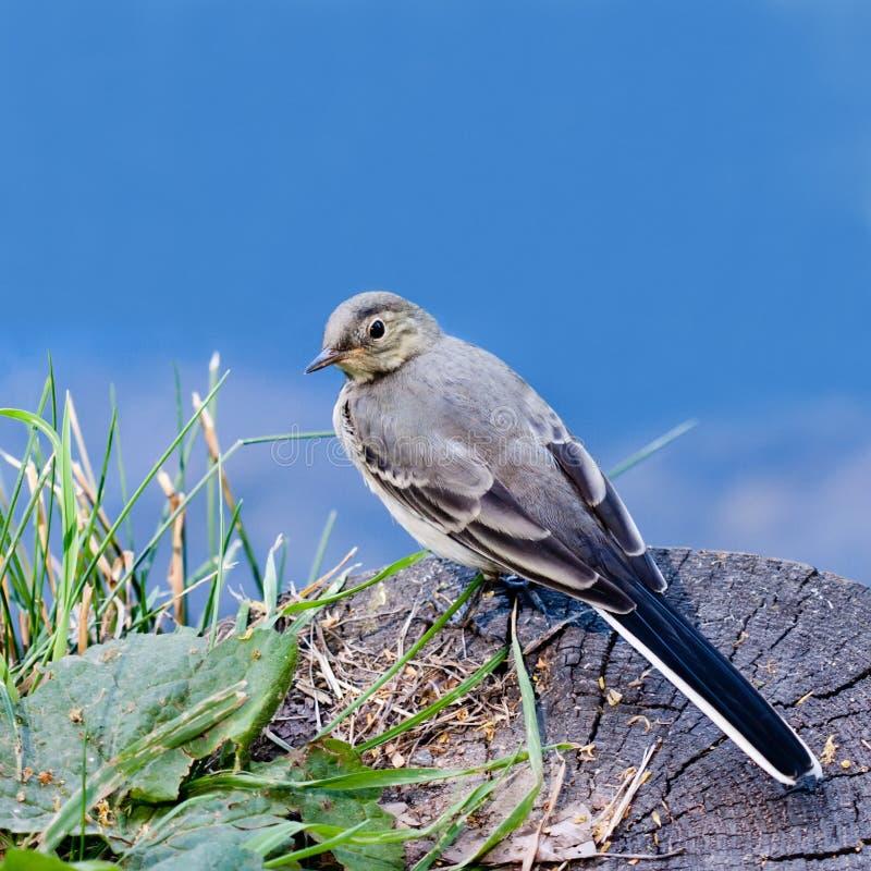 Πουλί Wagtail διάστημα αντιγράφων στοκ φωτογραφία με δικαίωμα ελεύθερης χρήσης
