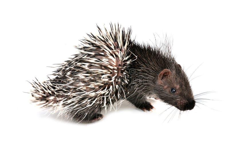 Που απομονώνεται porcupine μωρών στοκ φωτογραφία με δικαίωμα ελεύθερης χρήσης