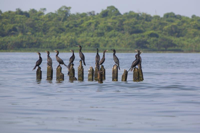 Πουλιά που σκαρφαλώνουν στους συγκεκριμένους στυλοβάτες, λίμνη Μαρακαΐμπο, Βενεζουέλα στοκ εικόνες