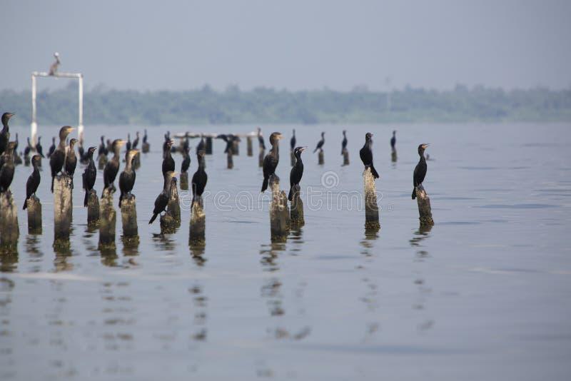 Πουλιά που σκαρφαλώνουν στους συγκεκριμένους στυλοβάτες, λίμνη Μαρακαΐμπο, Βενεζουέλα στοκ εικόνα