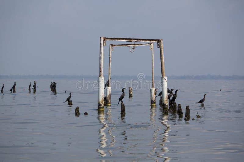 Πουλιά που σκαρφαλώνουν στους συγκεκριμένους στυλοβάτες, λίμνη Μαρακαΐμπο, Βενεζουέλα στοκ εικόνες με δικαίωμα ελεύθερης χρήσης