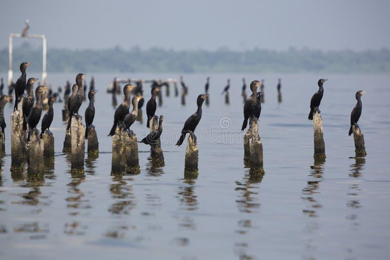 Πουλιά που σκαρφαλώνουν στους συγκεκριμένους στυλοβάτες, λίμνη Μαρακαΐμπο, Βενεζουέλα στοκ φωτογραφίες