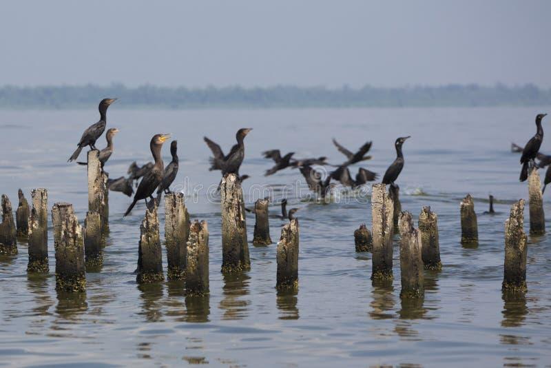 Πουλιά που σκαρφαλώνουν στους συγκεκριμένους στυλοβάτες, λίμνη Μαρακαΐμπο, Βενεζουέλα στοκ φωτογραφία με δικαίωμα ελεύθερης χρήσης