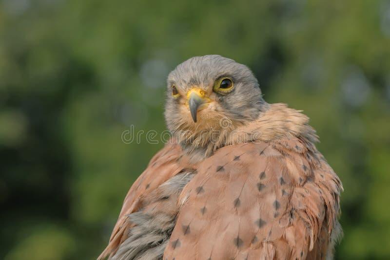 Πουλιά του θηράματος - κοινό γεράκι - FALCO Tinnunculus στοκ εικόνες