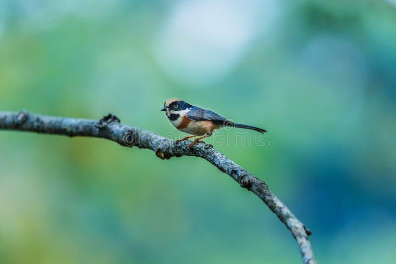 Πουλιά, concinnus Aegithalos, πουλιά του ήλιου Juh Chiang Mai ThailandDoi στοκ φωτογραφίες