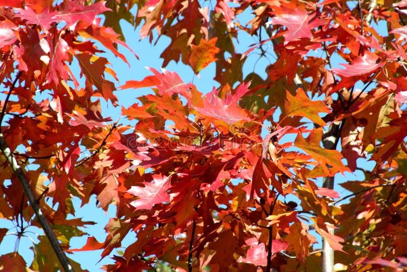 που χρωματίζεται το φθινόπωρο αφήνει δρύινος στοκ φωτογραφίες με δικαίωμα ελεύθερης χρήσης