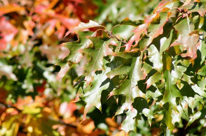 που χρωματίζεται το φθινόπωρο αφήνει δρύινος στοκ εικόνες
