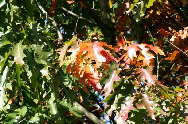 που χρωματίζεται το φθινόπωρο αφήνει δρύινος στοκ φωτογραφία με δικαίωμα ελεύθερης χρήσης