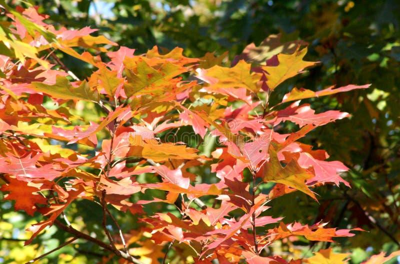 που χρωματίζεται το φθινόπωρο αφήνει δρύινος στοκ φωτογραφίες