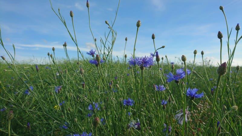 Πολλά μπλε cornflowers στον τομέα και τον όμορφο ουρανό πέρα από το στοκ εικόνες με δικαίωμα ελεύθερης χρήσης