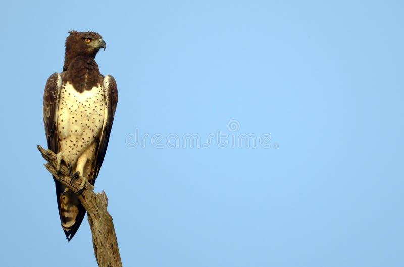πολεμικό polemaetus αετών bellicosus στοκ φωτογραφία με δικαίωμα ελεύθερης χρήσης
