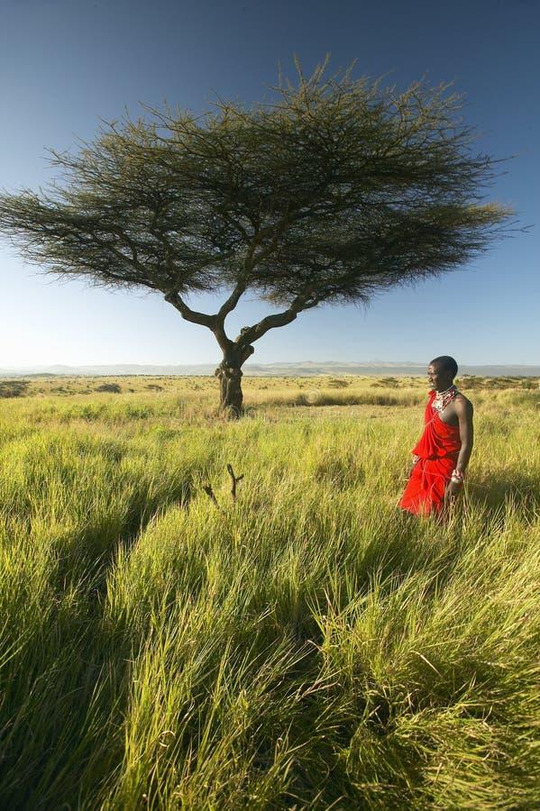 Πολεμιστής Masai στο κόκκινο που στέκεται κοντά στο δέντρο ακακιών και το τοπίο έρευνας της συντήρησης Lewa, Κένυα Αφρική στοκ εικόνα
