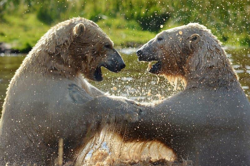 Πολικές αρκούδες που έχουν τη διασκέδαση στοκ φωτογραφία με δικαίωμα ελεύθερης χρήσης