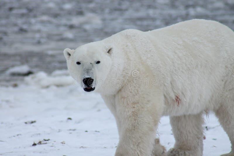 Πολική αρκούδα κόλπος Χάντσον (5) στοκ εικόνες