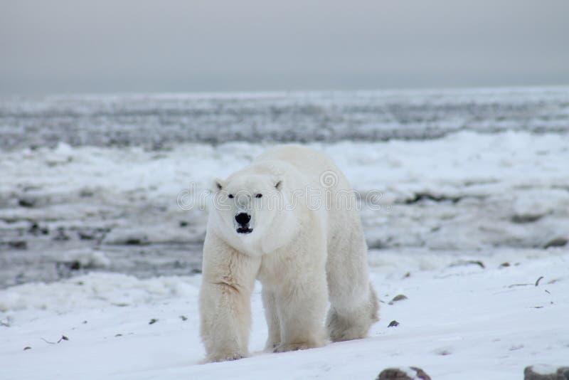 Πολική αρκούδα κόλπος Χάντσον (6) στοκ εικόνες