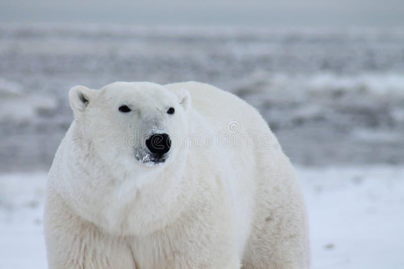 Πολική αρκούδα κόλπος Χάντσον (7) στοκ φωτογραφίες