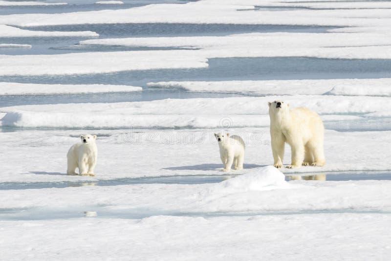 Πολική αρκούδα μητέρων και δύο cubs στο θαλάσσιο πάγο στοκ εικόνα με δικαίωμα ελεύθερης χρήσης