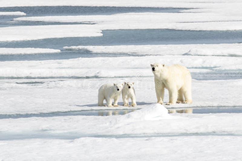 Πολική αρκούδα μητέρων και δύο cubs στο θαλάσσιο πάγο στοκ φωτογραφία με δικαίωμα ελεύθερης χρήσης