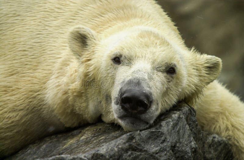 Πολική αρκούδα στο ζωολογικό κήπο του Ρότζερ Ουίλιαμς στοκ φωτογραφία