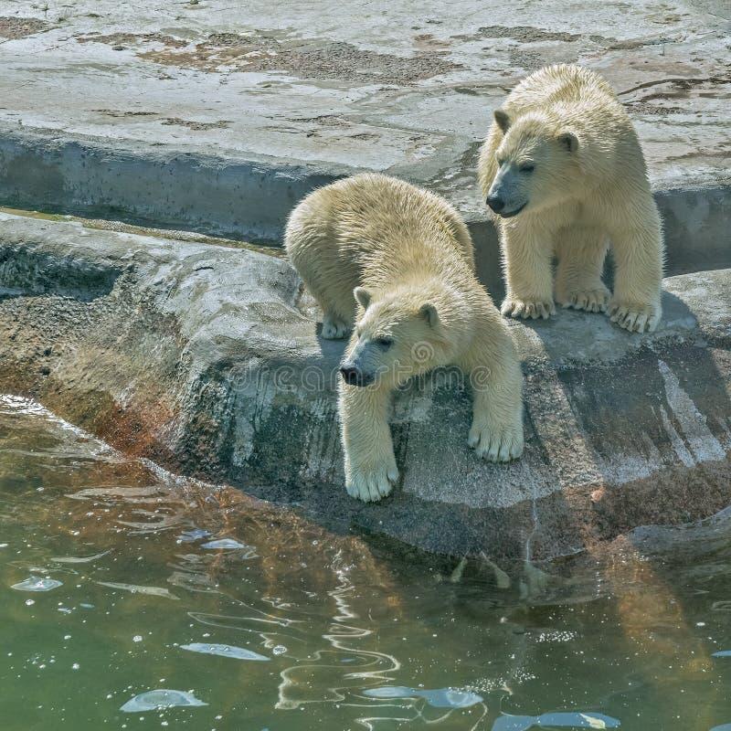 Πολική αρκούδα δύο στοκ φωτογραφίες με δικαίωμα ελεύθερης χρήσης