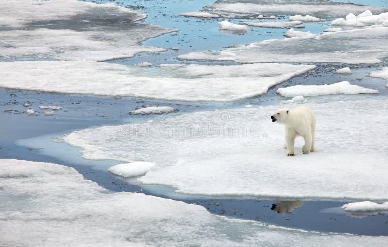 Πολική αρκούδα στοκ φωτογραφίες με δικαίωμα ελεύθερης χρήσης