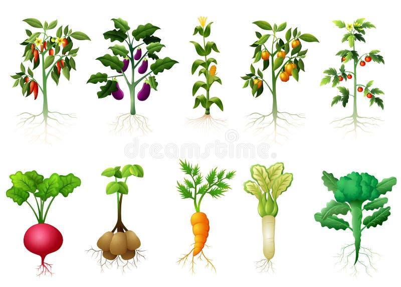 Πολλοί καλές εγκαταστάσεις των λαχανικών με την απεικόνιση ριζών ελεύθερη απεικόνιση δικαιώματος