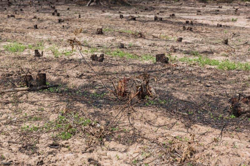 Πολλοί κωπηλατούν τα παλαιά κολοβώματα δέντρων που προκαλούνται από την αποδάσωση και το έγκαυμα στοκ φωτογραφίες με δικαίωμα ελεύθερης χρήσης