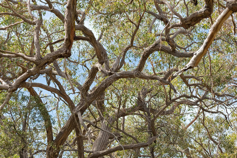 Πολλοί κλάδοι του stringybark, ανάπτυξη ευκαλύπτων στο δάσος ι στοκ εικόνες με δικαίωμα ελεύθερης χρήσης