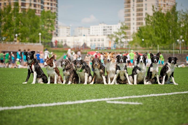 Πολλοί οριοθετούν τα σκυλιά κόλλεϊ από κοινού στοκ εικόνες