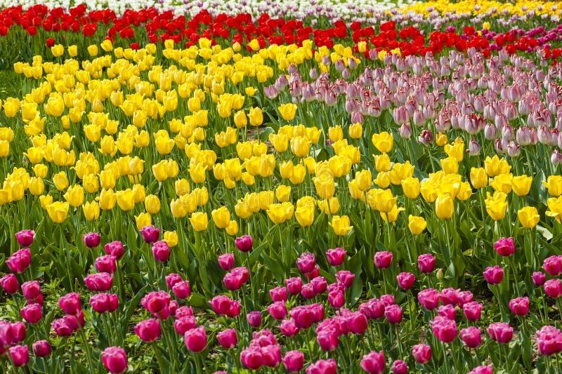 Πολυ τουλίπες χρώματος στοκ φωτογραφία με δικαίωμα ελεύθερης χρήσης