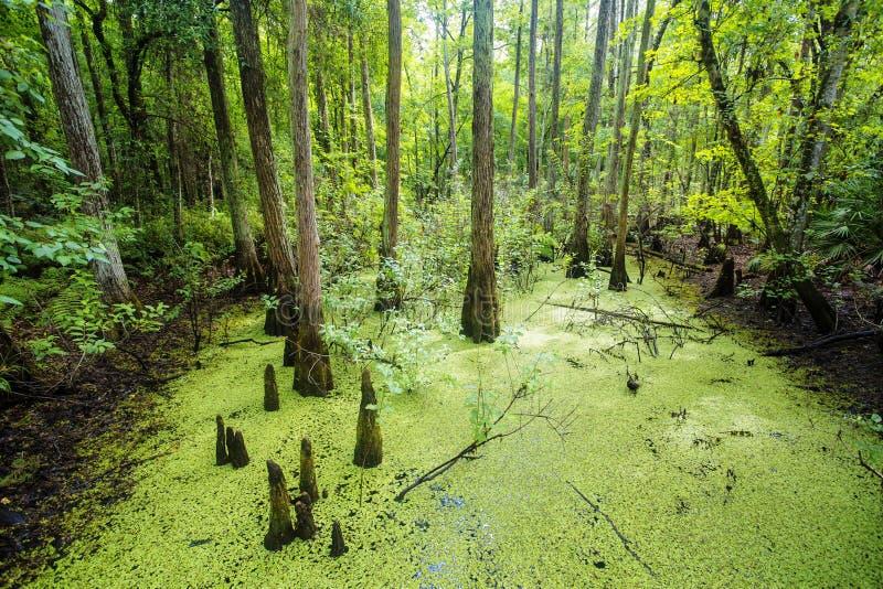Πολύβλαστο πράσινο έλος και τροπική δασική σκηνή στοκ φωτογραφία