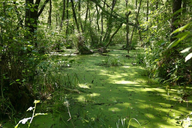 Πολύβλαστο πράσινο έλος και τροπική δασική σκηνή στοκ εικόνα