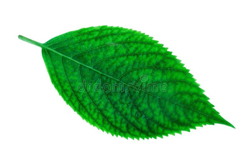 Πολύβλαστο πράσινο φύλλο του macrophylla Hydrangea φυτών hydrangea που απομονώνεται στο λευκό στοκ φωτογραφία με δικαίωμα ελεύθερης χρήσης