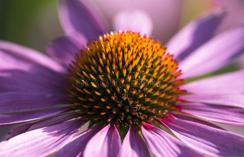 Πολύς αυτοί, πορφυρό λουλούδι στοκ εικόνα με δικαίωμα ελεύθερης χρήσης